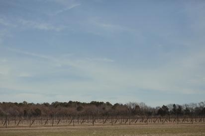 Upper Shirley vineyards